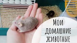 Мои домашние животные 🖤|Декоративные мыши