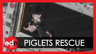 hundreds-of-piglets-rescued-from-road-accident