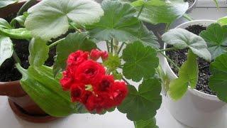 Чем и как часто подкармливать герань для обильного цветения в домашних условиях