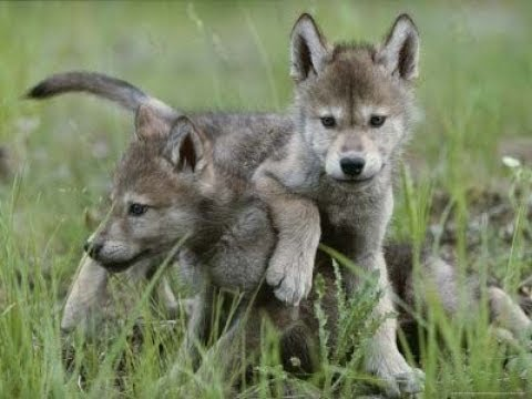 top cute baby wolf