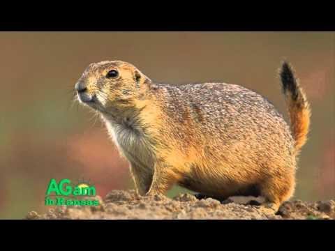 Around Kansas - Prairie Dogs - Sept. 23, 2015