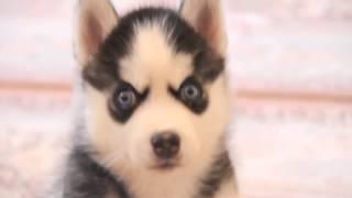 Маленький щенок хаски(Смотрите какой милый, красивый, пушистый щенок. Щенок породы хаски. Постоянная ссылка на видео: http://youtu.be/mHCyMn..., 2013-10-10T19:36:02.000Z)