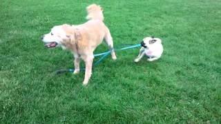 Funny Pug Pulling Golden Retriever