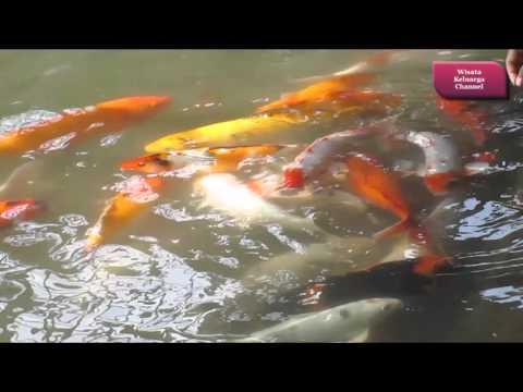 Asyiknya Bermain Ikan Koi dan Ikan Mas di dalam kolam