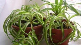 ХЛОРОФИТУМ – самое неприхотливое комнатное растение