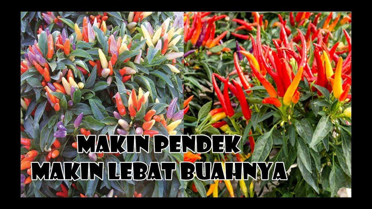 CABE PENDEK DAN BUAH LEBAT HANYA DENGAN CARA INI   HOW TO PRUNING CHILLI PLANT