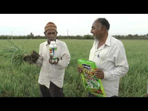 Organic Garlic with Plantonics Organic fertilizer | Garlic organic farming