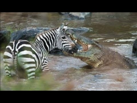 AMERICAN ZEBRA AND BIGGER CROCODILE, FINALLY ZEBRA FIGHTS FOR IT'S RIGHT