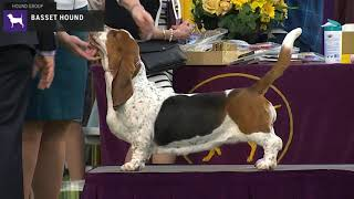 Basset Hounds | Breed Judging 2020