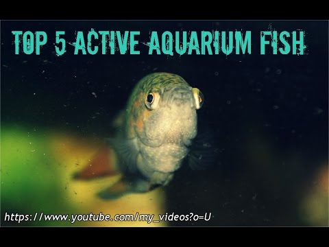 Top 5 Active  Aquarium Fish