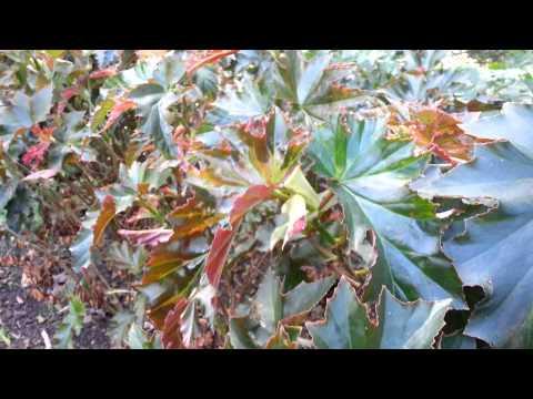 Begonia cv  Irene Nuss HD 02
