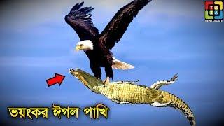 ঈগল পাখির 5 টি আশ্চর্যজনক আক্রমণ পদ্ধতি যা আপনাকেও অবাক করে দেবে। Amazing Fact About Eagle