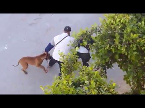 pitbull sauve la vie de son maître