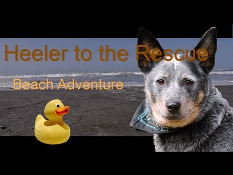 Dog Tries to Rescue Injured Duck: Ilwaco Beach (Blue Heeler Adventure)
