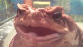 Жаба Ага (Cane toad)