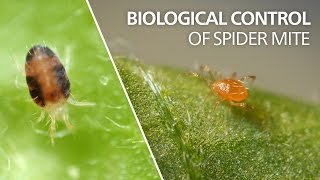 Biological control of spider mite - Phytoseiulus persimilis