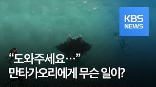 """[클릭@지구촌] """"도와주세요""""…스스로 구조 요청한 만타가오리 / KBS뉴스(News)"""