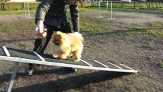 Pomeranian Diesel Training Agility (best Video)
