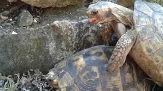 Turtle humping ends badly