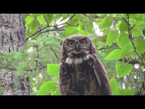Great Horned Owl encounter
