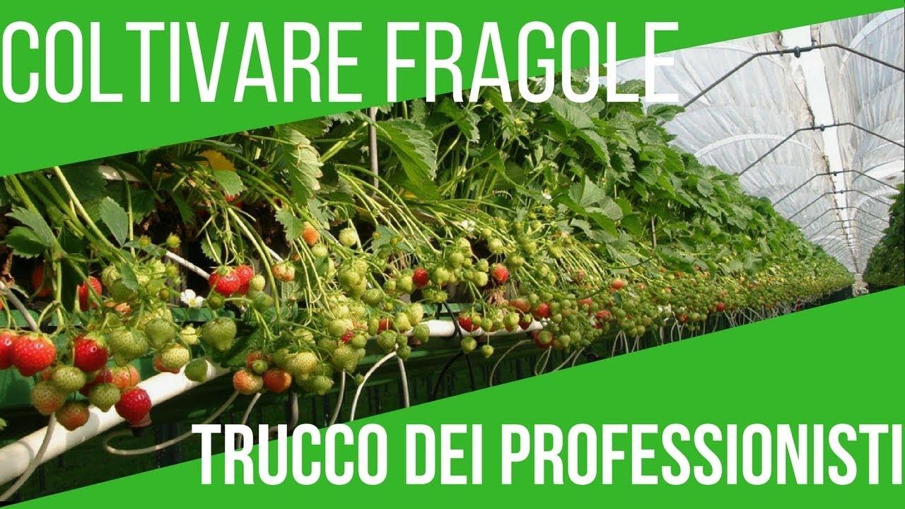 Come Coltivare Pomodori Sul Balcone coltivare le fragole sul balcone | tecnica moderna | orto e giardinaggio