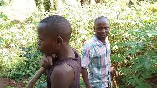 Manioko, ĉefa manĝaĵo por multaj afrikaj landoj