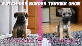 Tea (BORDER TERRIER PUPPY) Growing up  from 8 weeks to 12 weeks