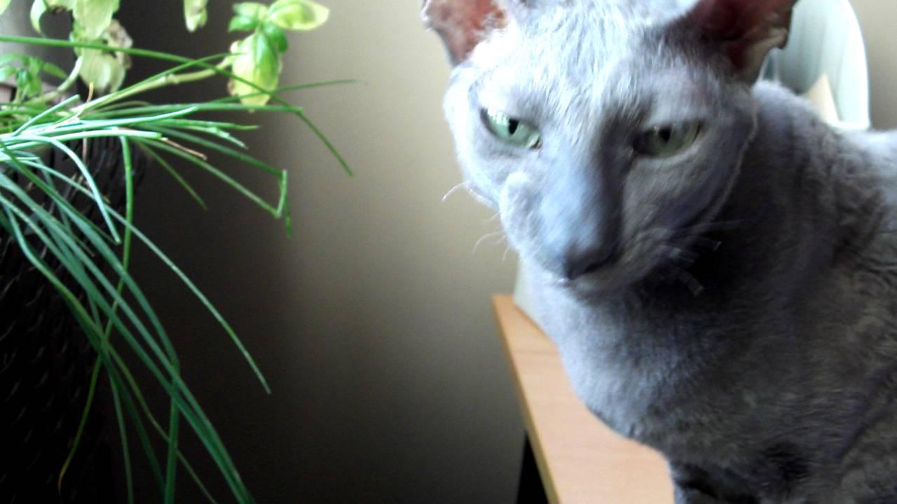 Thymus Cat