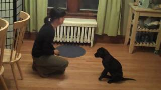 Very Smart Black Labrador Puppy- Training Session