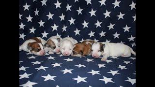 Coton Puppies For Sale - Jolie 7/7/20