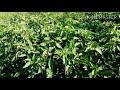Cultivo Chile Guajillo. echando puntas. | sin acolchado |