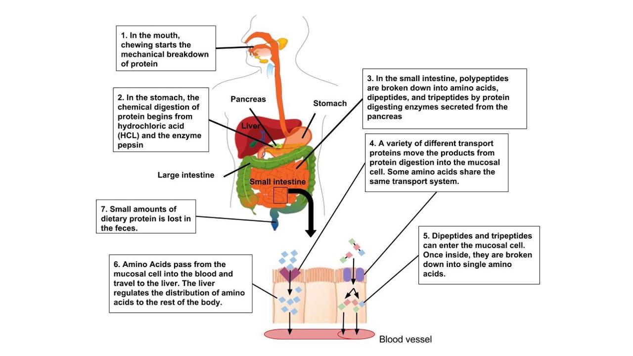 protein digestion [ 1280 x 720 Pixel ]