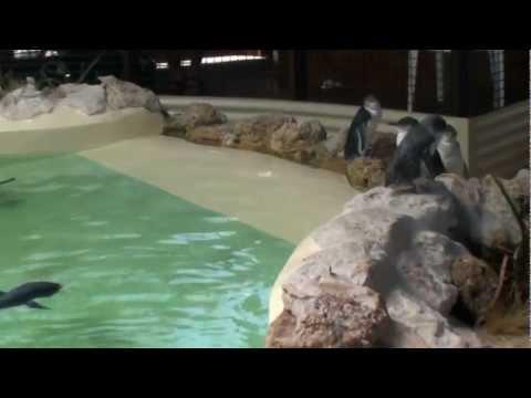 Penguin feeding, Penguin Island, Rockingham, Australia. Videos/Slideshows from around the world