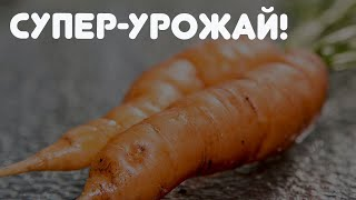 Узнайте морковные секреты! Богатый урожай с этими хитростями опытных садоводов!