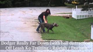 Dodger (7 Month Old Lab) Before And After Video - Off Leash K9 Training Raleigh / Durham