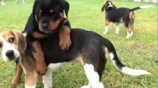 Cairns Puppy Pre-school