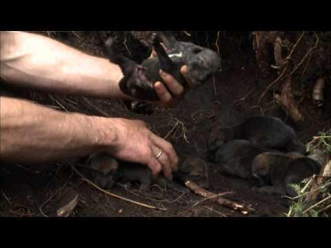 Radioactive Wolves of Chernobyl (w/ subtitles) (HD) - Legendado português