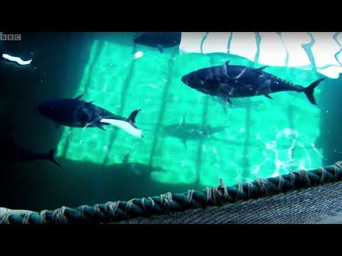 Breeding Southern Bluefin Tuna | Australia With Simon Reeve | BBC