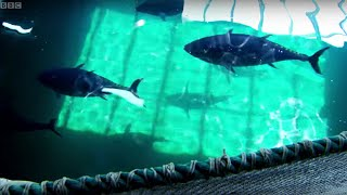 Breeding Wild Southern Bluefin Tuna - Australia with Simon Reeve - BBC