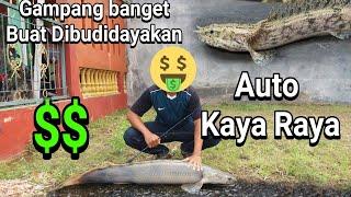 Budidaya Ikan Palmas Endlicheri di Aquarium