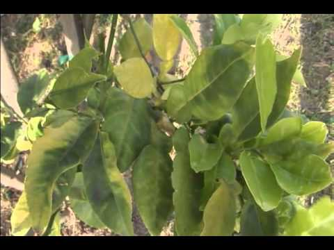 """""""Save Our Citrus: CDFA Protects Against the threat of Huanglongbing (Citrus Greening)."""""""