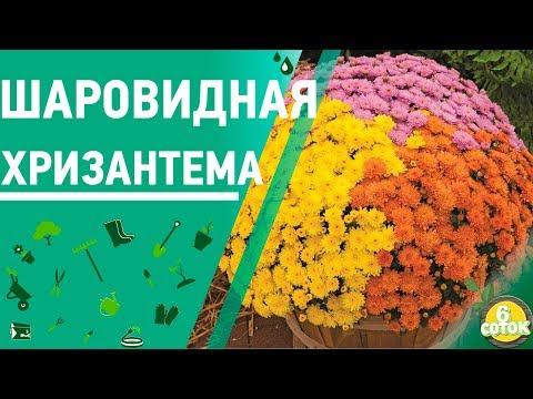 Шаровидная хризантема. Как сохранить зимой. 6 соток 22.10.2018