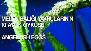 Melek Balığı Yavrularının 10 Aylık Öyküsü - melek balığı - akvaryum balıkları