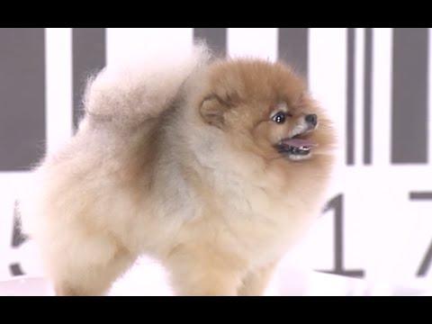 Test.tv: Все для животных. Померанский шпиц – секреты породы.