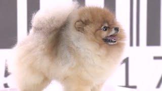 Test.tv: Все для животных. Померанский шпиц секреты породы.