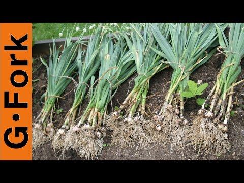 How to Grow Garlic - GardenFork