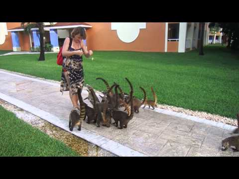 Feeding coatis in Mexico