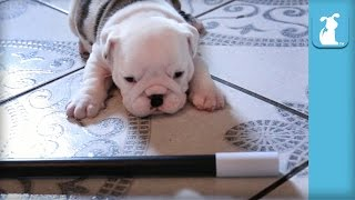 Wrinkly Bulldog Puppy Does MAGIC! SO DARN CUTE! - Puppy Love