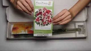 FloraKing.de: Eine Rose von FloraPrima.de!