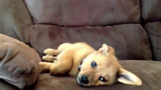 Tank: The Pug Pomeranian Mix! Preview